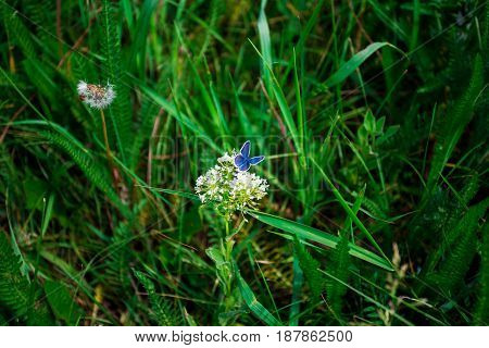 Blue butterfly on a white flower against a background of green grass