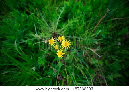 Little yellow Daisies on green grass background