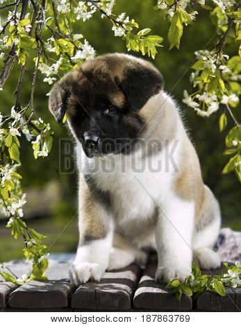 Puppy of American akita among blooming cherry tree branches in the garden