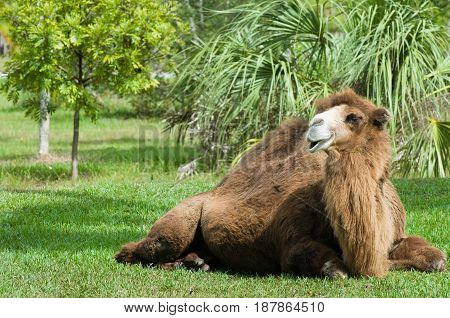 Camel  In The Zoo, Color Image, Toned Image, Animals