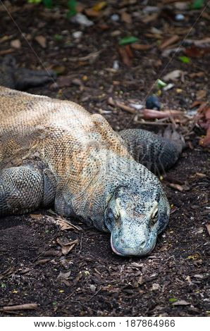 Varan Komodo In The Zoo, Color Image, Toned Image
