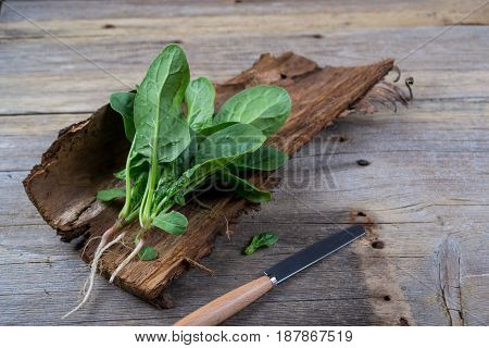 Fresh garden organic spinach  on the bark of a tree. Healthy vegetarian food.Fresh herbs.