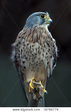 Proud Kestrel - some noise