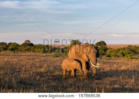 animal, nature and wildlife concept - elephant with baby or calf walking in maasai mara national reserve savannah at africa