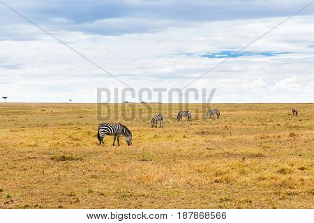 animal, nature and wildlife concept - zebras grazing in maasai mara national reserve savannah at africa