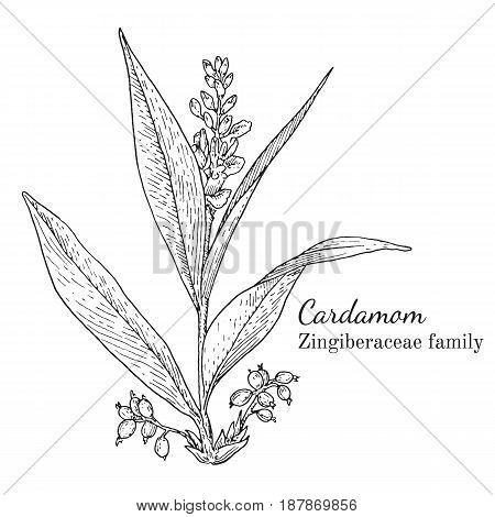 Ink cardamom herbal illustration. Hand drawn botanical sketch style. Absolutely vector. Good for using in packaging - tea, condinent, oil etc - and other applications