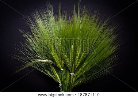 top view closeup of large fresh green wheat bunch bouquet bind with white thread on dark background