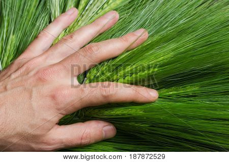 top view closeup of young farmer hand examining planted green wheat