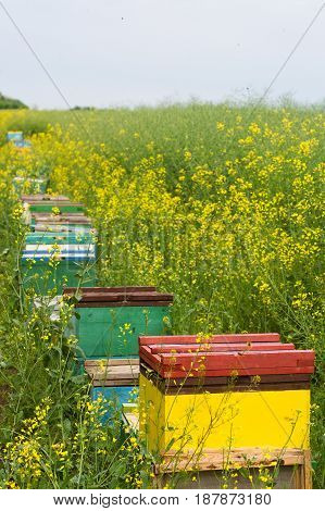 vertical perspective view row of colored beehives near a canola field with yellow flowers