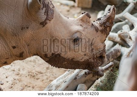 giant rhino in a zoo close up