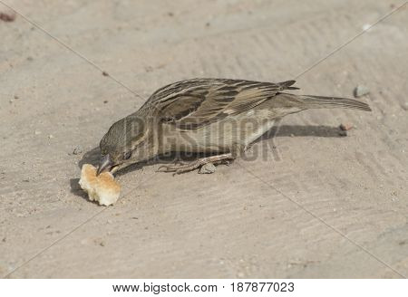 Common House Sparrow Feeding On Bread