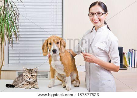Veterinarian, Beagle dog and kitten Scottish Straight