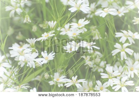 Small white flowers in veil. Backround white flowers