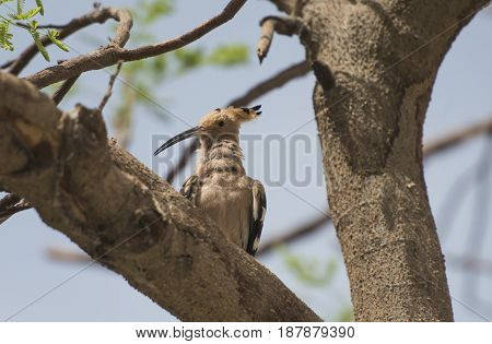 Wild Hoopoe Bird Perched On Branch In Tree