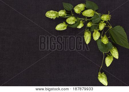 Hop branch isolated on dark concrete background from above with copyspace.