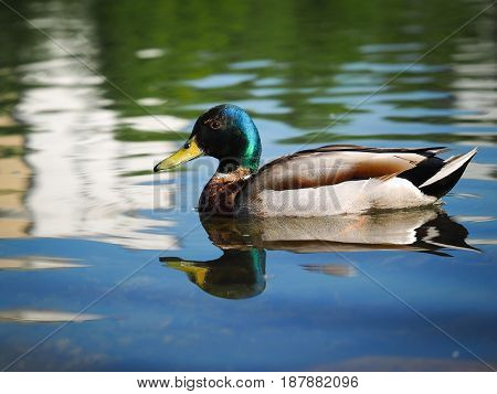 Duck Drake beautiful. Floats on water bird