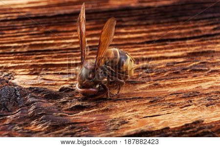 Hornet closeup on wooden background. Animal life.