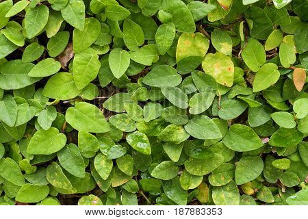 Creeping Fig a nature background closeup Ficus pumila, Creeping Fig, Climbing Fig, Creeping Rubber Fig, has a small leaf shaped like a heart. This plant is native to Australia and Asian countries. It is used for decorative fence, walls and gardens to look