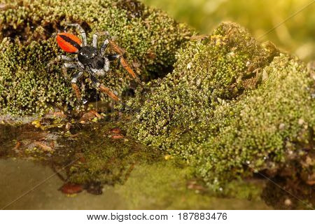Closeup Jumping spider known as Philaeus chrysops running over water on moss green. Selective focus
