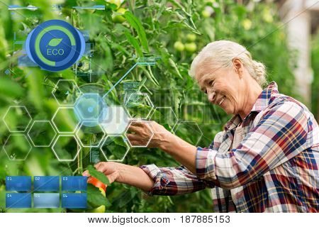 organic farming, gardening, agriculture, old age and people concept - senior man or farmer growing tomatoes at greenhouse on farm