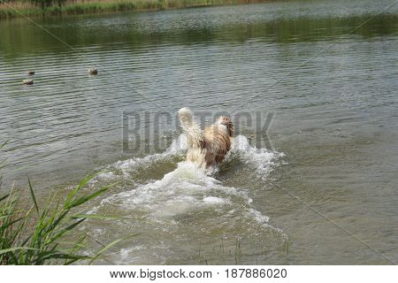Australian shepherd dog  jumping into the water