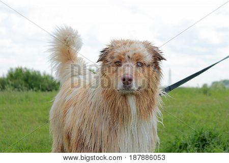 Australian shepherd dog standing in standby order