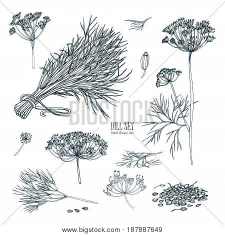 Dill set. Hand drawn sketch collection with greens, bunch, branch, flower, inflorescence, seeds. Vector illustration on white background