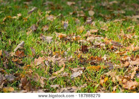 Fallen oak leaves lay on the grass
