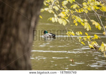 Ducks in the pond in the autumn city Park