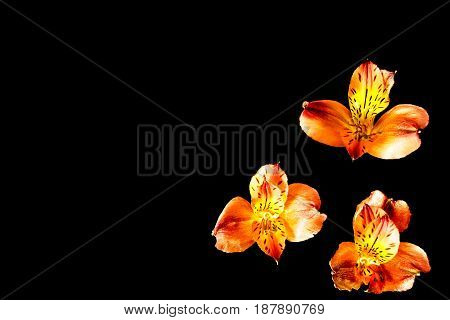 Three orange flowers 3 flowers with black background