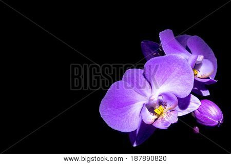 Violet orchidea orchid flower with black background