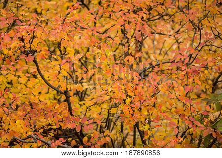 Red and yellow foliage on the shrub in autumn
