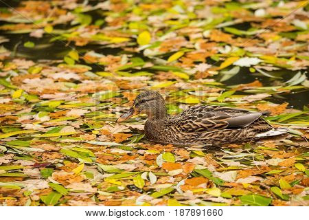 Mallard swimming in a pond surrounded by fallen yellow leaves
