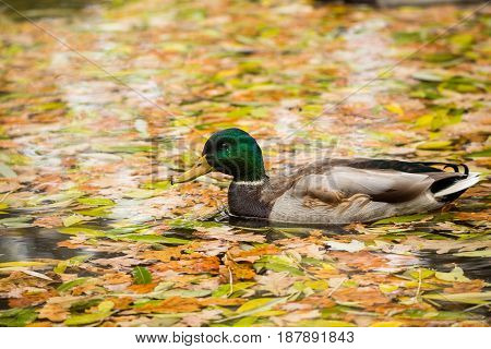 A Drake Mallard swimming in a pond. Golden autumn, falling leaves
