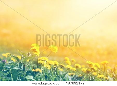 Photo of a miracle retro spring background with dandelions