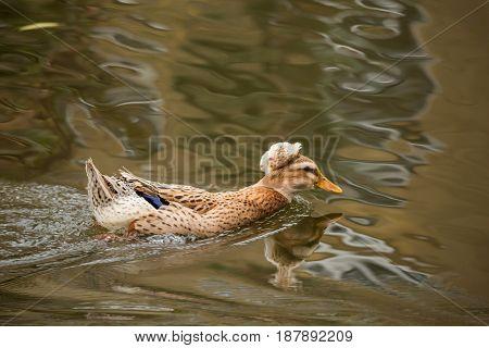 Mallard swimming in a pond in the fall. Anas platyrhynchos