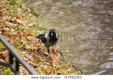 The crow on the shore near the pond in autumn