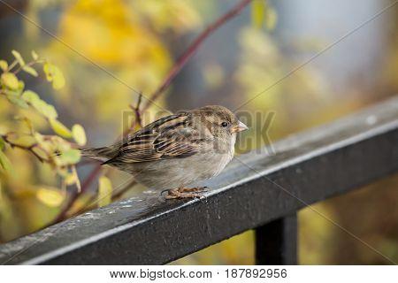 Sparrow on metal fence, autumn. Autumn day. Fallen yellow leaves