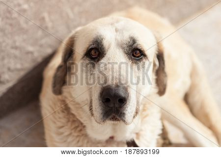 Big white dog lying down looking at camera