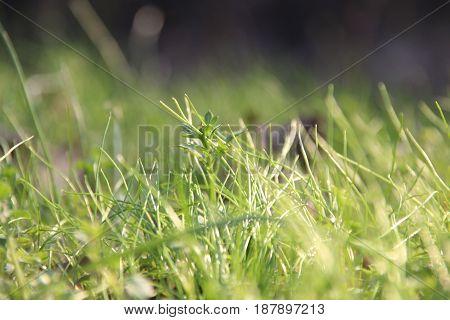 fresh green grass lawn in sunlight, summer season