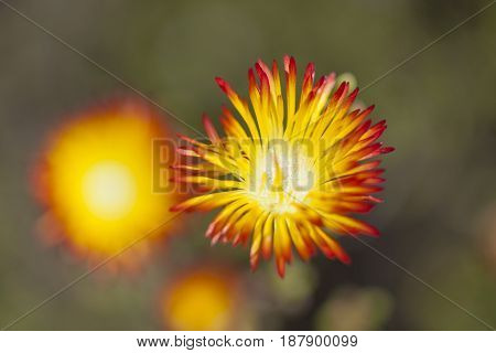 red and yellow Drosanthemum bicolor succulent plant flowering