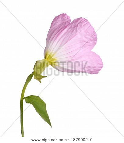 Back view of a single flower of the pink evening primrose (Oenothera speciosa) isolated against a white background