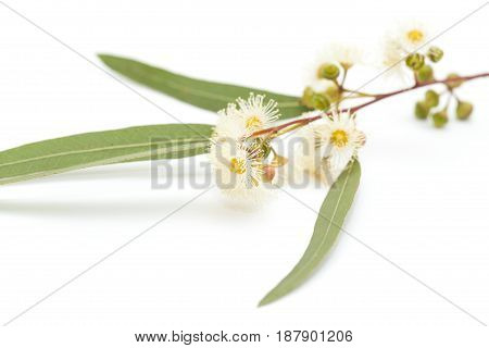 Flowering Eucalyptus Camaldulensis