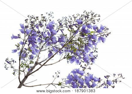 Flowering Blue Jacaranda
