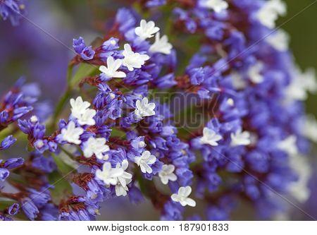 Flowering Limonium Arborescens
