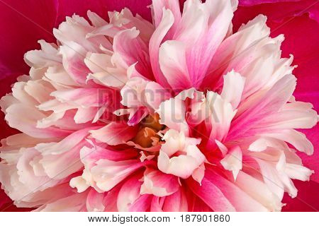 Closeup of a pink red and white anemone-form peony (Paeonia lactiflora) flower fills the frame