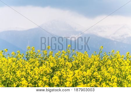 Yellow Rapeseed Field In The Country With A Cloudy Mountain In The Background