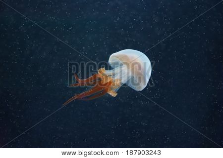 Beautiful jellyfish (Rhopilema esculentum) in blue water