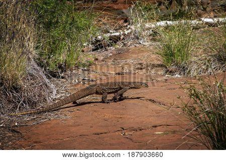 Sand goanna at rocky ground in Western Australia