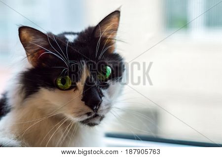 Portrait Of A Beautiful Black And White Domestic Cat With Green Eyes In Front Of A Window